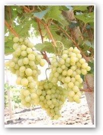 Чауш сорт винограда